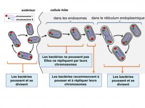 Cycle cellulaire de Brucella