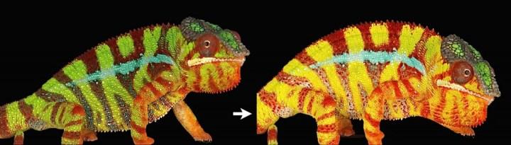 Evolution de la couleur, en quelques dizaines de secondes, sous l'effet d'un stress et via une modification de la géométrie des iridophores de surface.