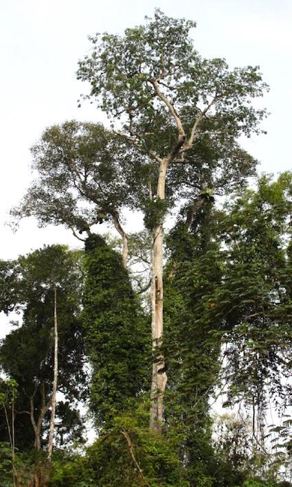 Terminalia superba, une des quatre essences héliophiles menacées par la non gestion de la forêt en Afrique centrale. © Morin-Rivat