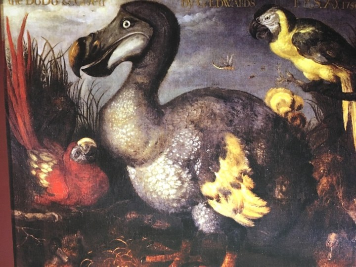 Cette peinture du dodo, réalisée par Roelandt Savery, dans les années 1620, est l'une des images les plus célèbres et copiée de cet animal aujourd'hui disparu.