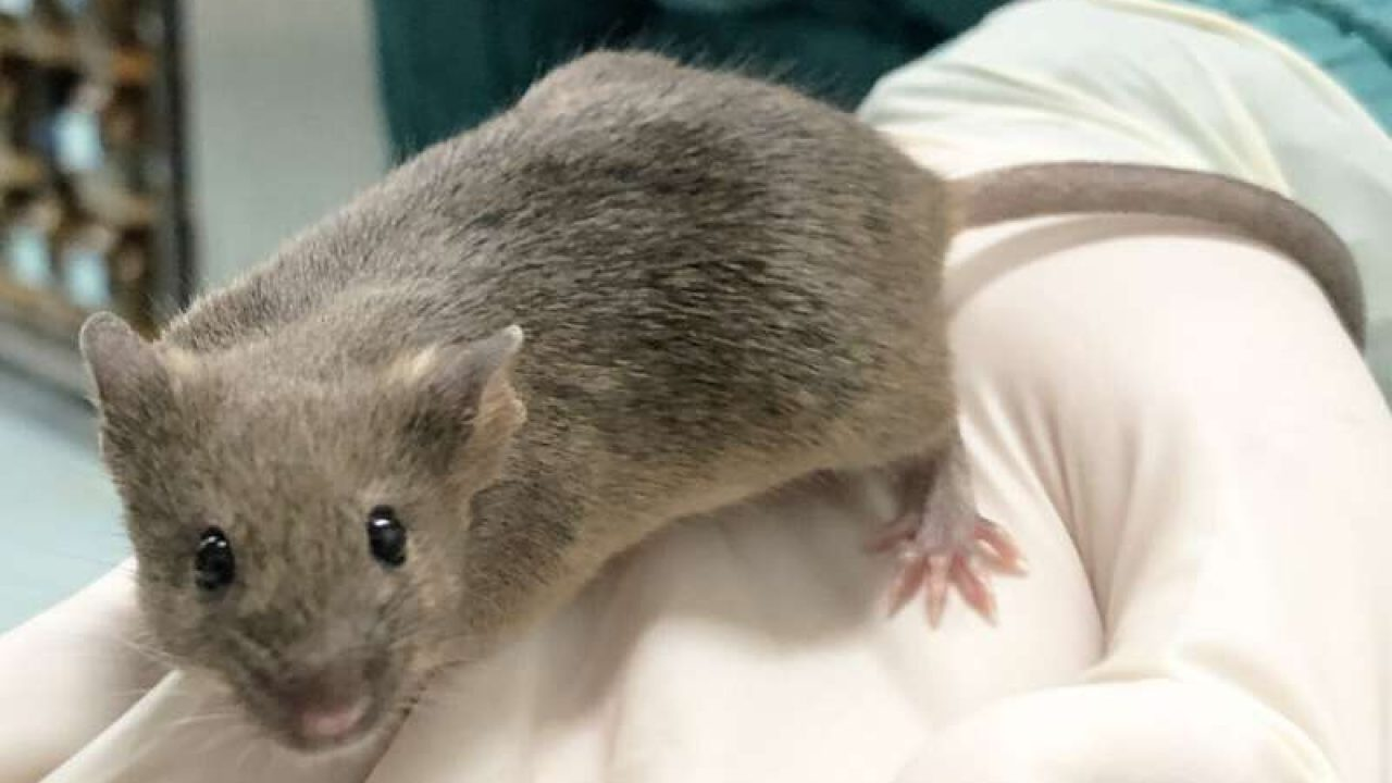Hantavirus in China: After coronavirus havoc, man dies of rat ...