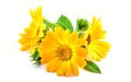 ingredient-calendula-blossoms