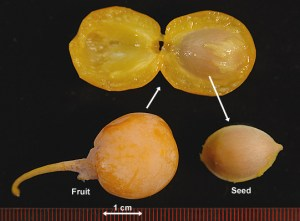 Ginkgo Fruit and Nut