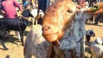 رائے ونڈ میں 100ایکڑ اراضی پرعارضی مویشی منڈی سج گئی