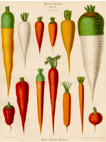 Carrot Types