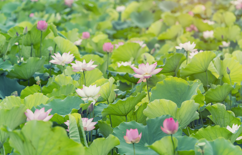 close up pond filled with bright green lilly pad leaves and pink and white lotus flower and blooming flower buds