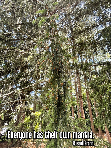 cool perspective shot looking at pine tree branch with droopy green needles and baby pine cones surrounded by branches in pine grove - mantra meditation Quote: Everyone has their own mantra. - Russell Brand