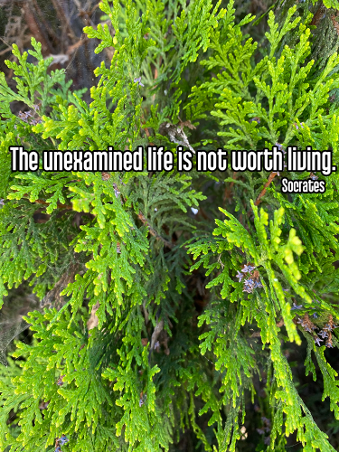 close-up bright green evergreen pine tree leaves - svadhyaya self-study learning Quote: The unexamined life is not worth living. - Socrates