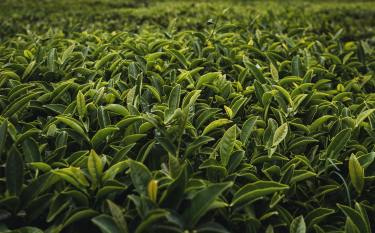 cool shot of tea plants with bright green leaves growing in the sun - Tea - Camellia Sinensis original work - https://unsplash.com/photos/oi0FvNhkHy8