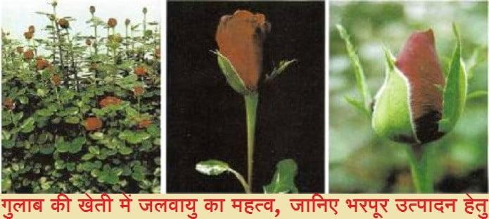 गुलाब की खेती में जलवायु का महत्व
