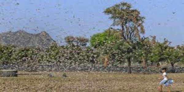 ভারতে পঙ্গপাল নিধনে ১ হাজার 'জলকামান'