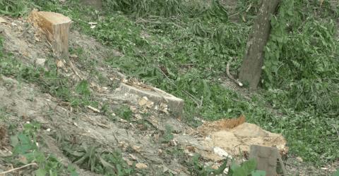 বেনাপোলে সরকারী গাছ কেটে নিল প্রভাবশালীরা
