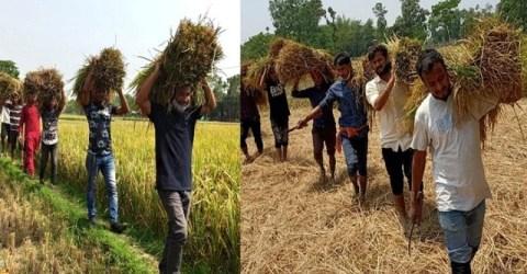 গৌরীপুরে অসহায় কৃষকদের ধান কেটে দিল ছাত্রলীগ