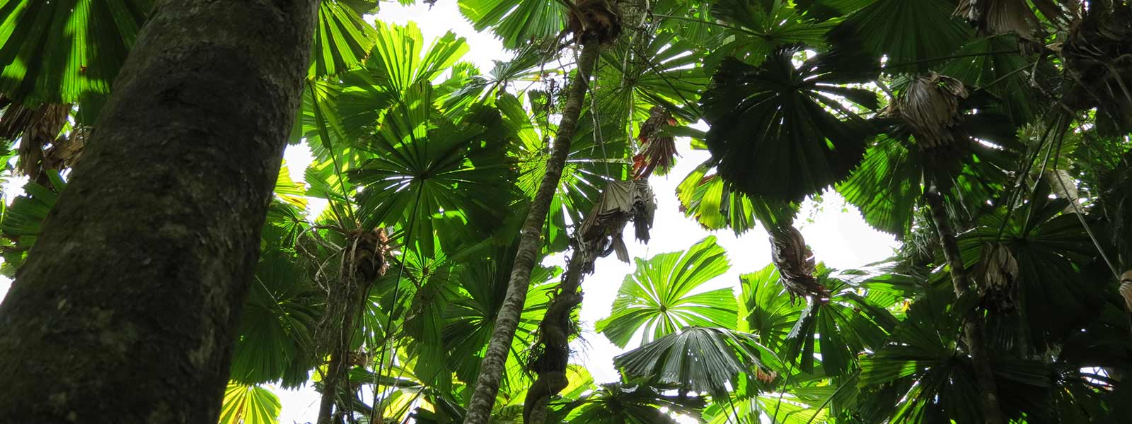 daintree-safaris-fan-palms