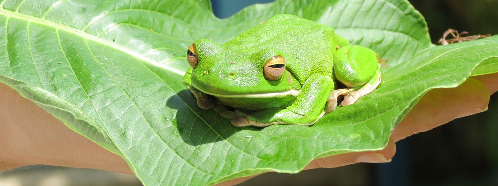 daintree-safaris-green-treefrog