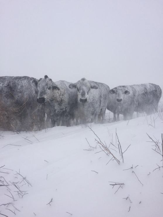 Beef cattle trying to ride out the storm. Photo by Andrew Schaap.