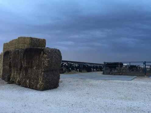 Stalk bales used as windbreaks in preparation for the storm.