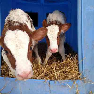 5 Facts About Twin Dairy Calves.