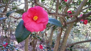 Camellia at Magnolia Plantation