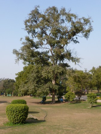 Wild Tree in Lodi Gardens