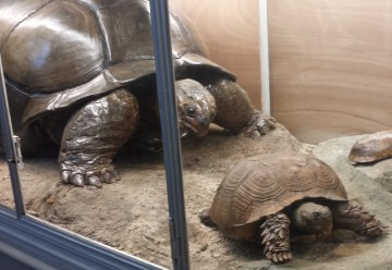 Giant Tortoise Adult and Offspring