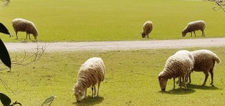 Sheep Grazing on Middleton Place Lawn