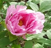 Pink Rose Again