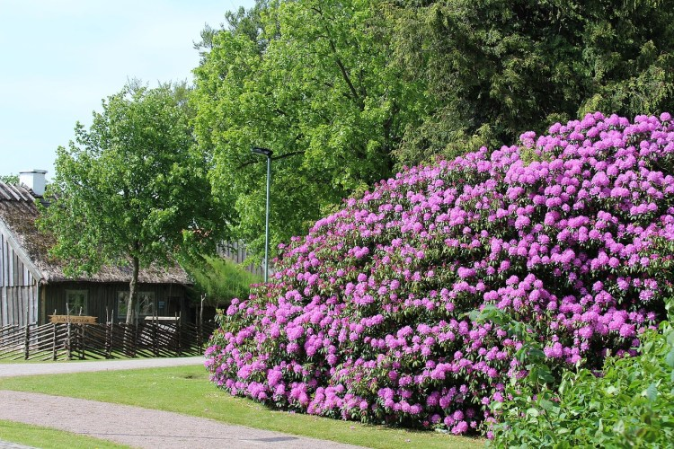large lavendar Rhododendron with farmhouse in background