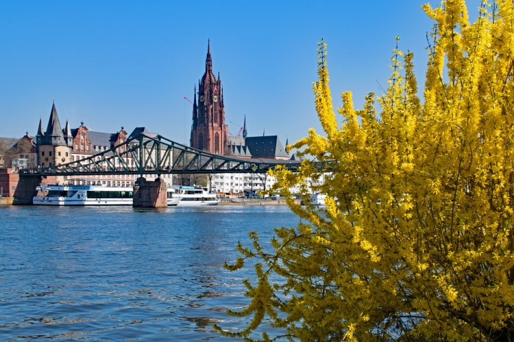 Forsythia yellow flowering shrubs with city background