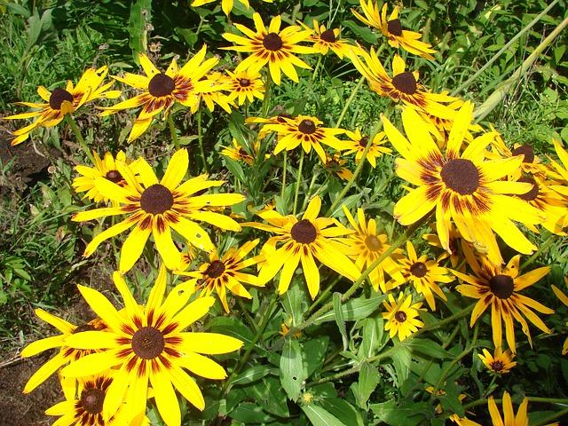 3-season garden Yellow Brown-eyed Susans