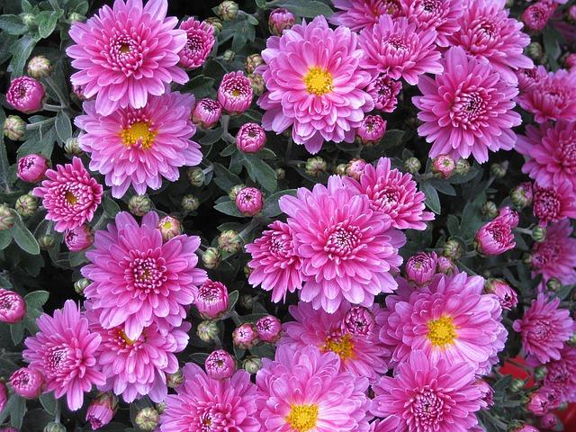 3-season garden Pink with yellow center Chrysanthemums
