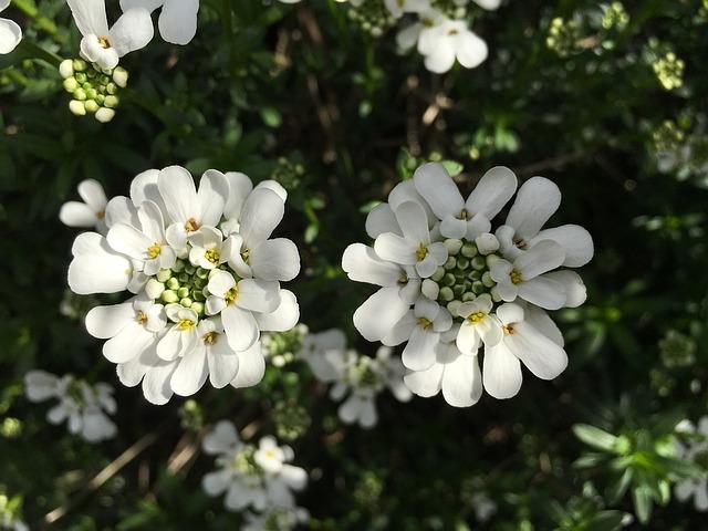 3-season garden Evergreen Candytuft plant