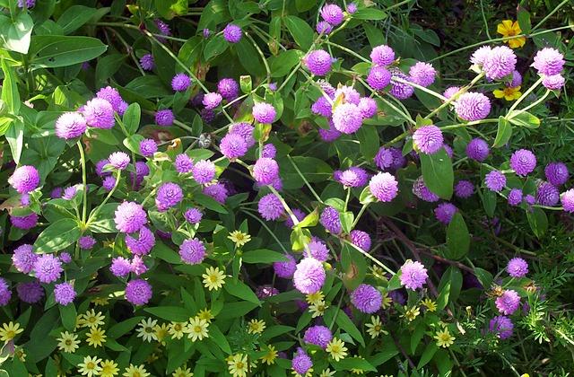 3-season garden Lavender colored Globe Amaranth