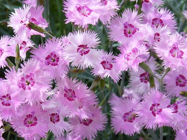 3-season garden Light Pink Carnations