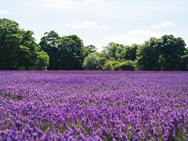 3-season garden Field of purple lavender with trees in background