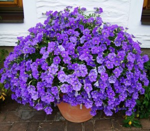 purple wave petunia in a clay pot sitting on a brick patio.