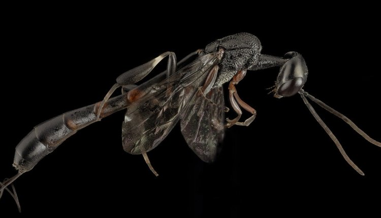 chalcid Parasitic wasp