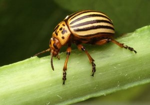 Colorado potato beetle. It is brown and has yellow strips on its humped back.