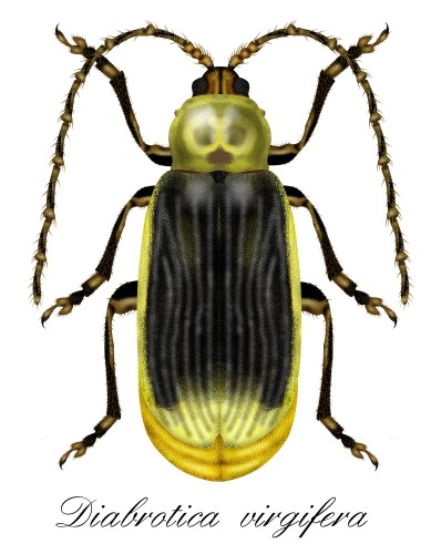 Corn rootworm, a lime green beetle with black wings with whitish stripes running down it. Long curly antennae's, 4 legs. White background.