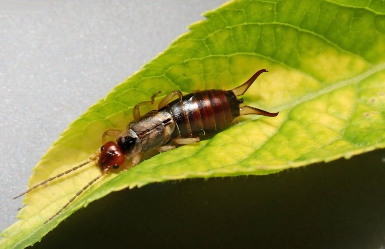 An earwig insect on a leaf.