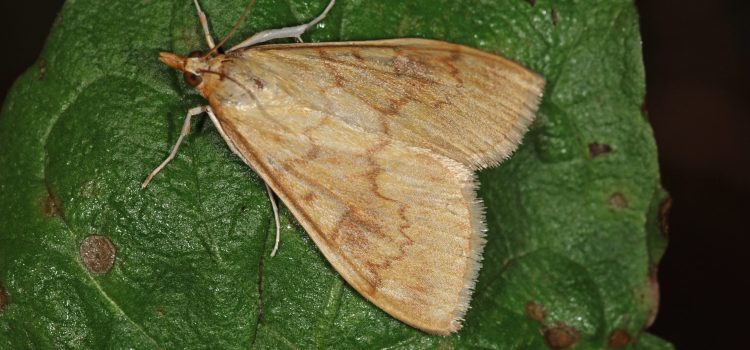 Adult European Corn Borer moth