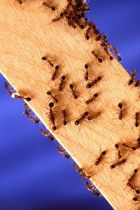 Fire ants on a 2 x 4 board. Approximately 25 to 30 ants on the board.