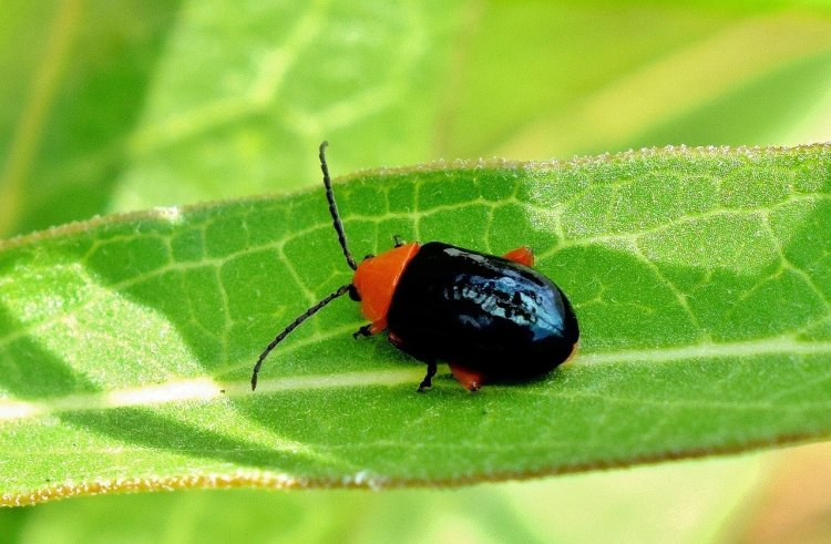 Shiny black flea beetle with red head and antannae's. It's feeding on a leaf.