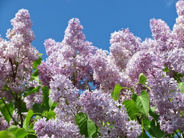 Light purple lilac for hardiness zone post. Blue sky in the background.