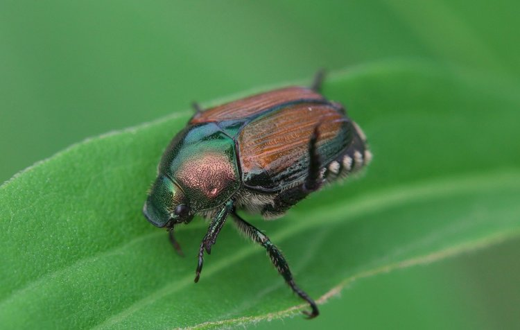 Japanese beetle with coppercolored wings and a green thorax and head.