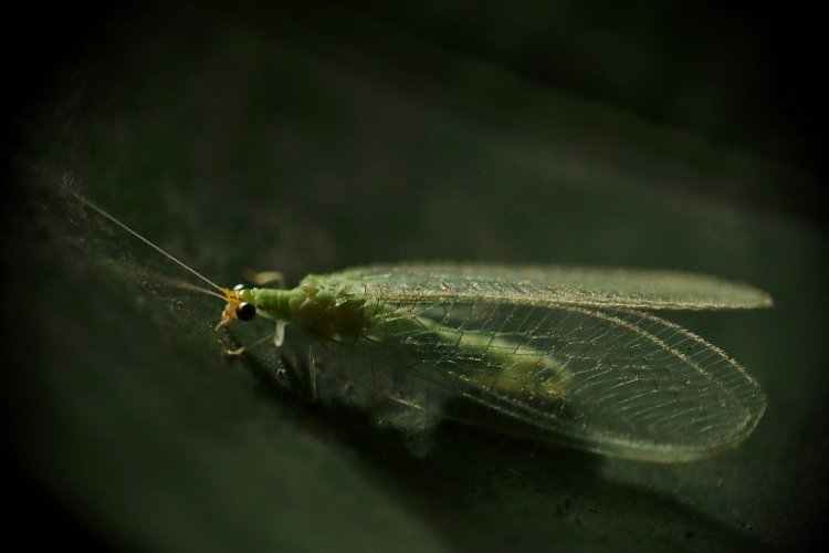 Green lacewing insect close-up. They have long slender bodies and long antennae's and four membranous wings.