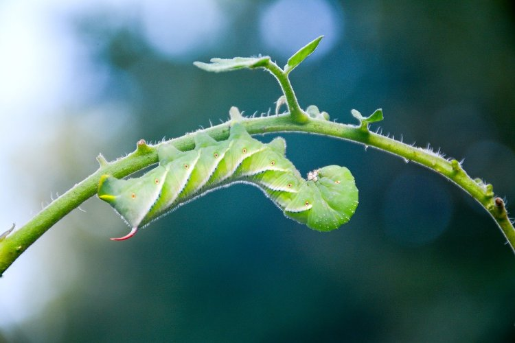 a green tomato hornworm.