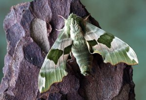 Tomato hornworm hawk moth. yellowish-greeen spotted with wide wing span.