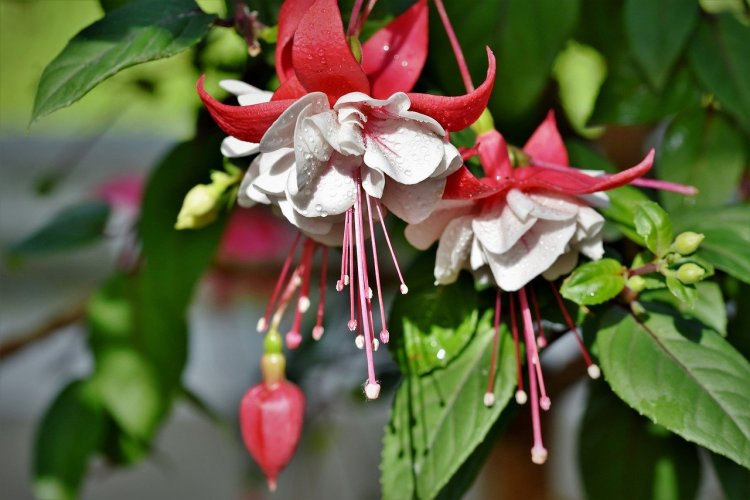 Fuchsia plant, red and white with green leaves.