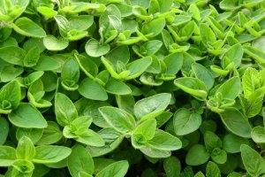 Marjoram leaves covering the whole picture.
